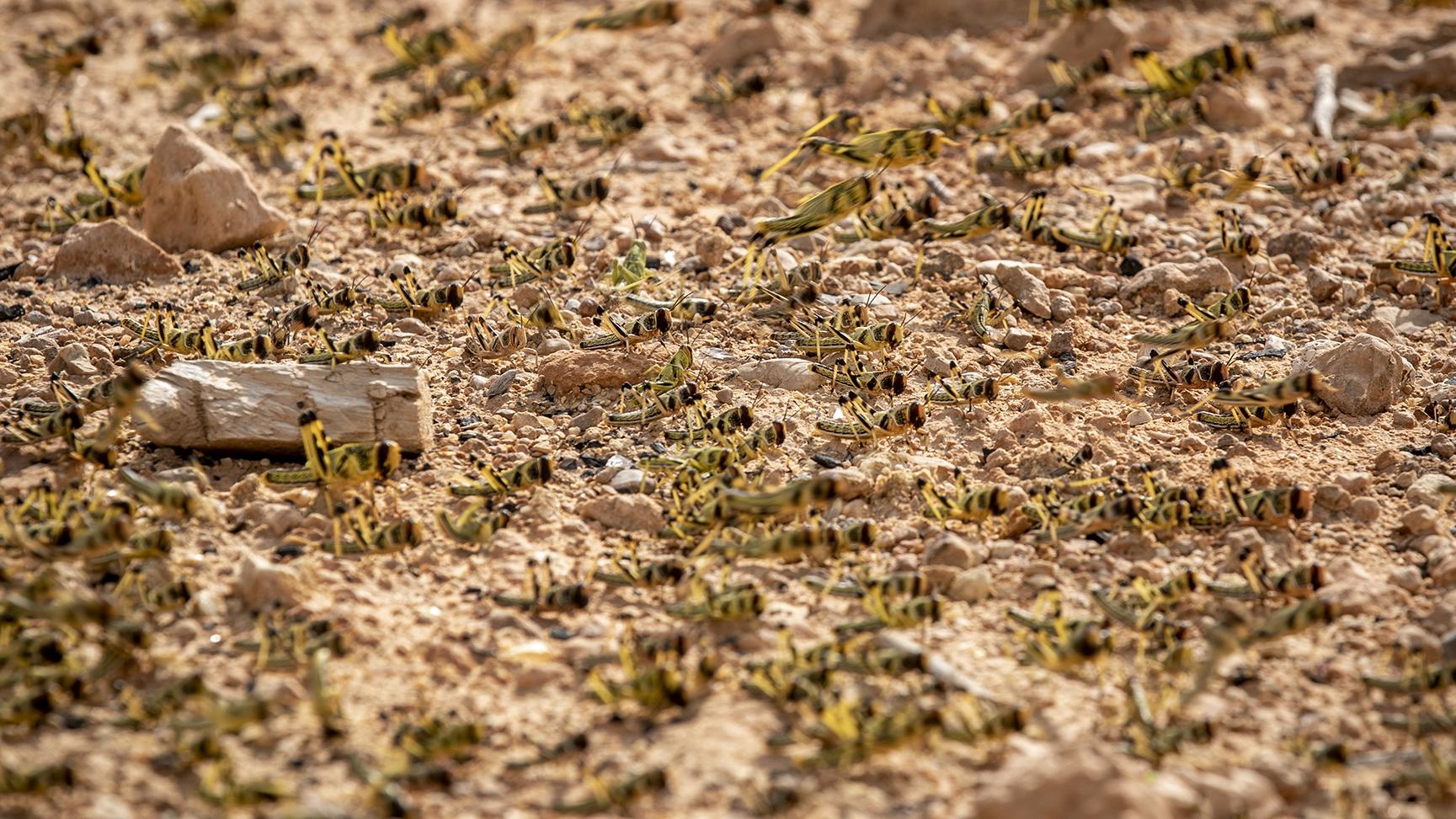 2020年2月5日,联合国粮农组织在非洲索马利亚考察蝗虫灾害。(美联社)