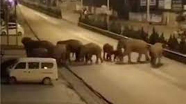 15头亚洲象从云南西双版纳向北到昆明。(视频截图)