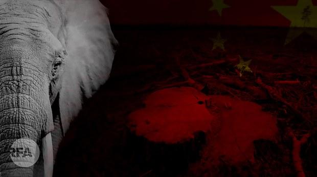 """中国野象""""北漂"""" 很萌?   背后原因可悲"""