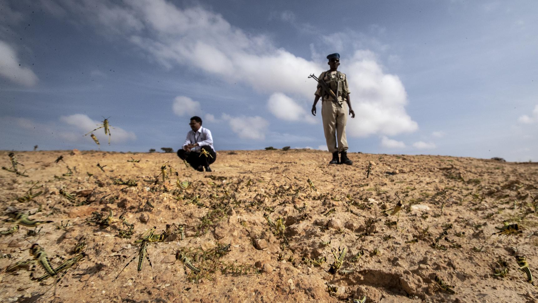 2020年2月5日,联合国粮农组织专家在非洲索马里考察蝗虫灾害。(美联社)