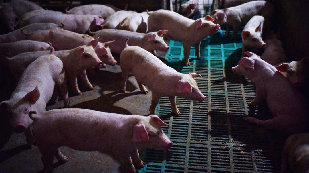 中国每年生产7亿头猪,占全球生猪饲养五成左右。(AFP)