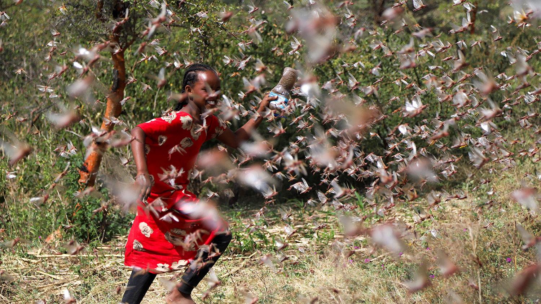 2020年1月12日,埃塞俄比亚索马里地区吉吉加郊区的一个农场里,一名埃塞俄比亚女孩试图抵御沙漠蝗虫。(路透路)
