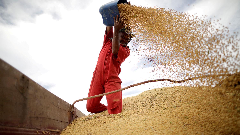 巴西坎波斯林杜斯鎮的工人收穫大豆。(路透社)