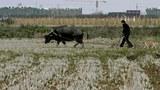 中国粮食产量大跌三成。图为在上海郊区南汇区,农民牵着水牛开垦农田。(路透社图片)