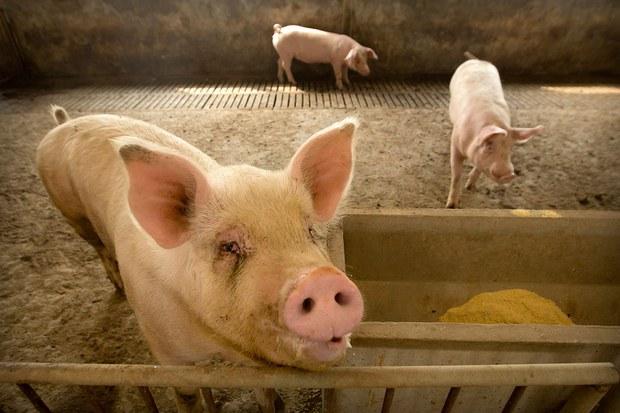 中国计划经济贻害无穷   生猪价格急跌养猪户破产