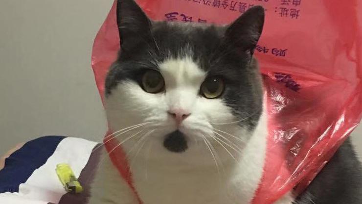 图为中国第一只克隆猫的来源(纽约时报)