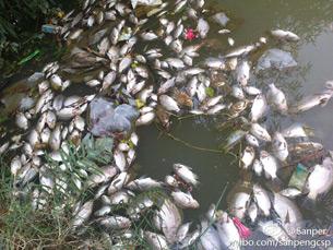 图片: 被毒死的鱼群。 (新浪微博/中国茉莉花革命网)
