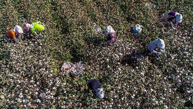 2018年10月14日在中国新疆哈密一家农场采摘棉花的农工(法新社资料图)