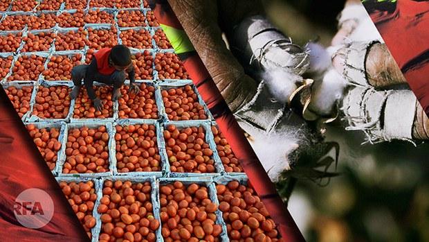 美国禁止进口由新疆强迫劳动力生产的棉花及番茄制品(自由亚洲电台制图)