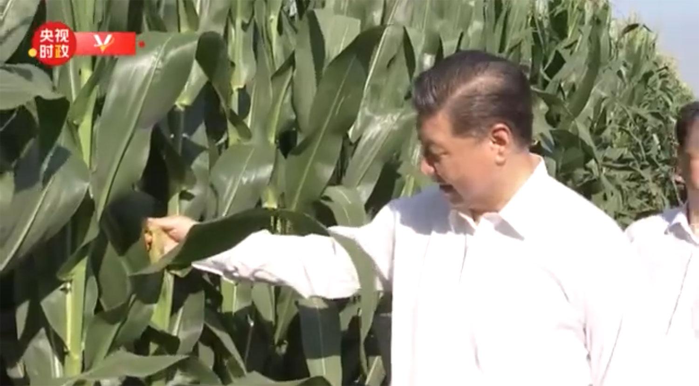 2020年7月22日,习近平站立在玉米地旁。(视频截图)