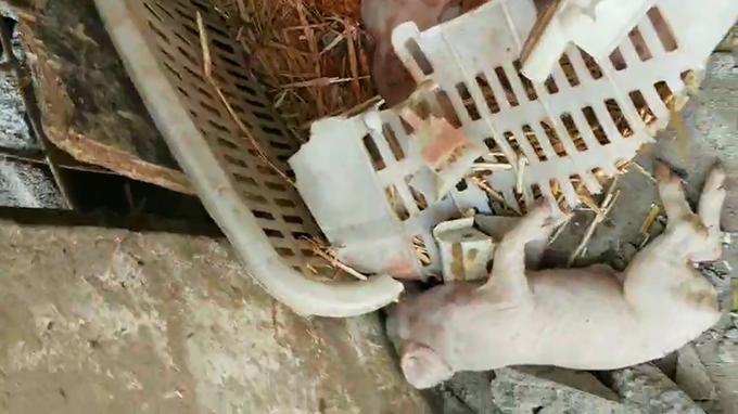 村民豬圈被砸后的死豬画面 (村民提供)