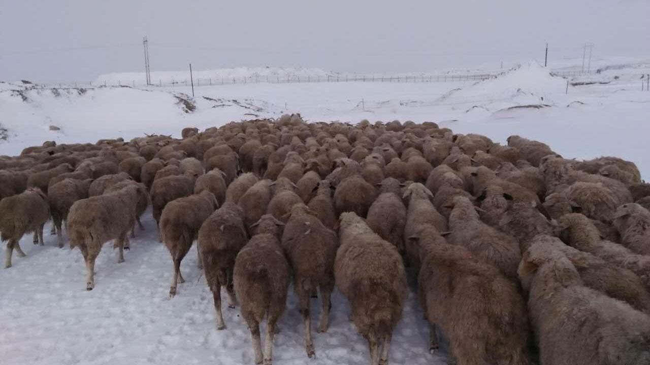 图为,内蒙古巴彦淖尔市乌拉特中旗牧民宝玉家的羊受到金矿污染,白毛成黑毛。(牧民提供)