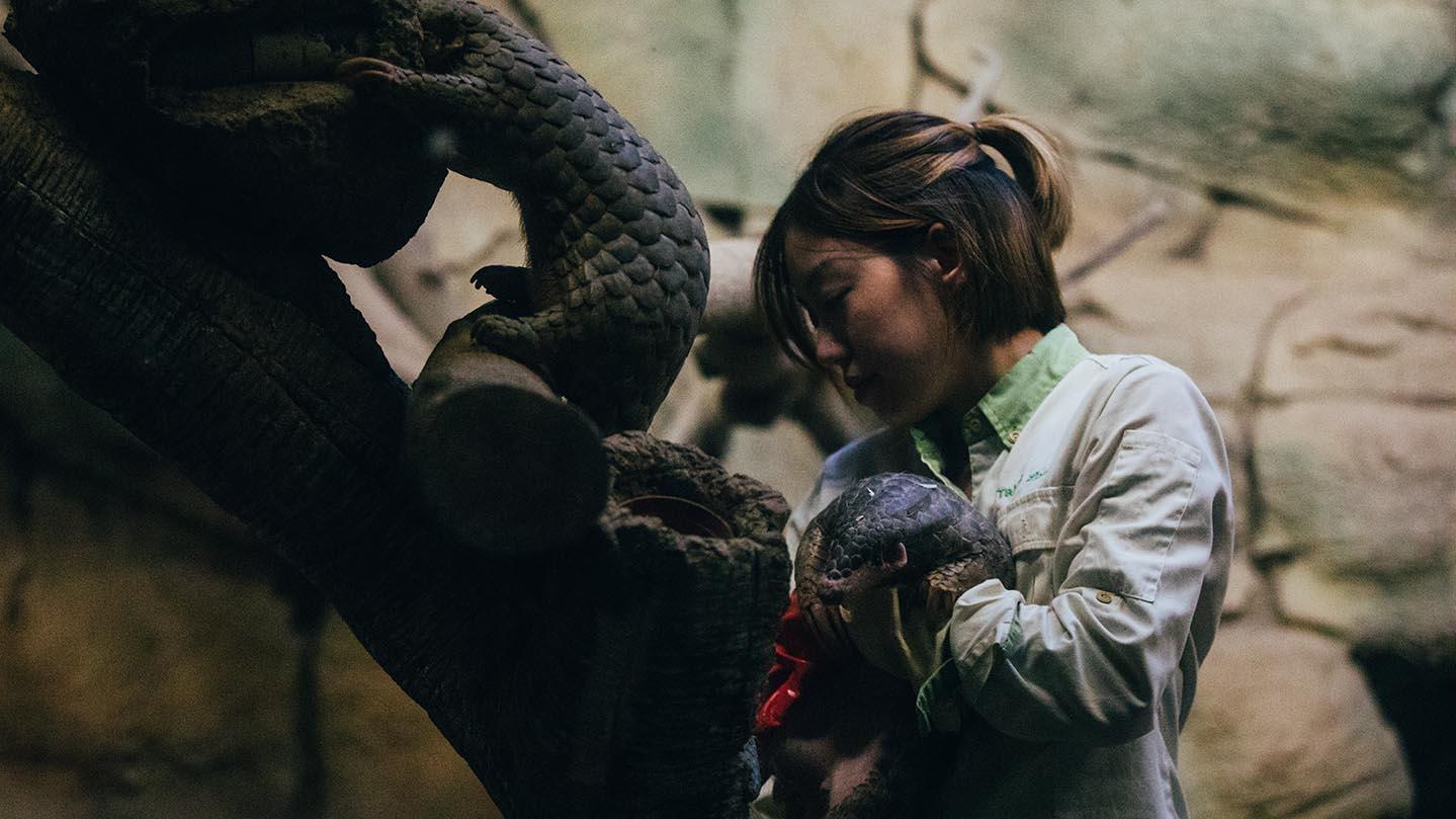 台北市立动物园养活穿山甲的经验和方法,为世界提供不少借镜。(摄影/蔡耀征)