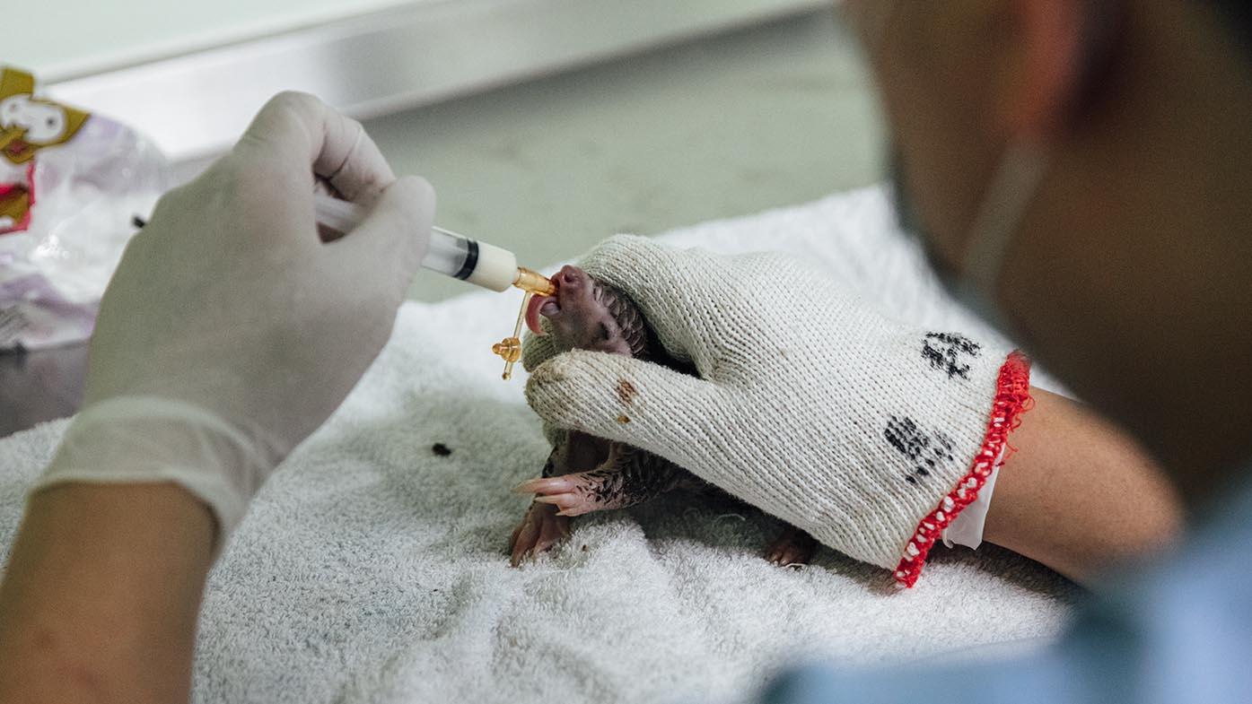 农委会特有生物研究保育中心野生动物急救站里,一只新生的穿山甲正接受人工哺育。(摄影/余志伟)