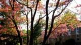 """""""遙知兄弟登高處,遍插茱萸少一人。""""林昭祭日門前遠近山茱萸樹。"""