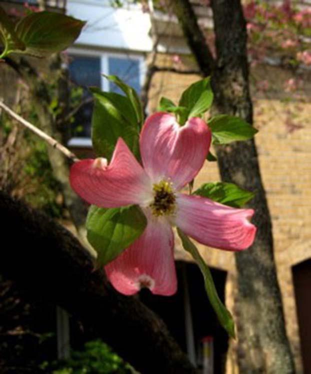林昭祭日四月二十九日,门前茱萸。北明拍攝