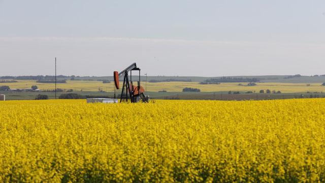 中国2019年禁止加拿大油菜籽进口,但后来在猪瘟后急需油菜籽作猪饲料,向加拿大买超。图为加拿大的油菜田。(路透社)
