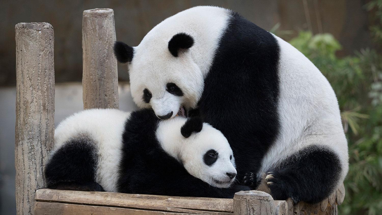 熊猫人漫画_中国的负面形象 熊猫救得了吗?