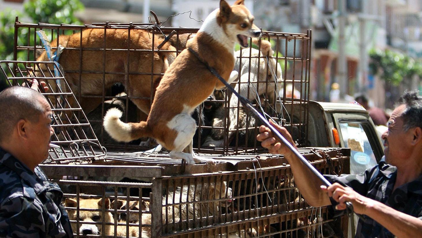 各城市限狗令一出,不少狗只难逃被捕命运。(法新社)