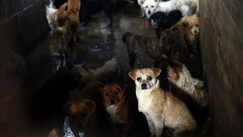 中国的犬只留验所是暗藏狂犬病的黑暗死角。(美联社)