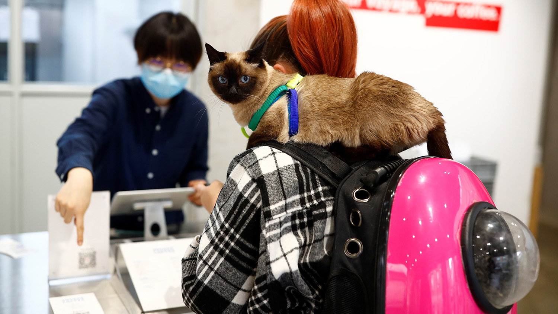 中國推行流浪貓絕育工作,卻出現絕育補貼被濫用、醫師專業未到位等問題。(路透社)