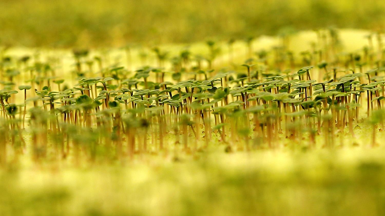 """近年中國積極扶植種子企業,企圖成爲""""農業芯片大國""""。(路透社)"""