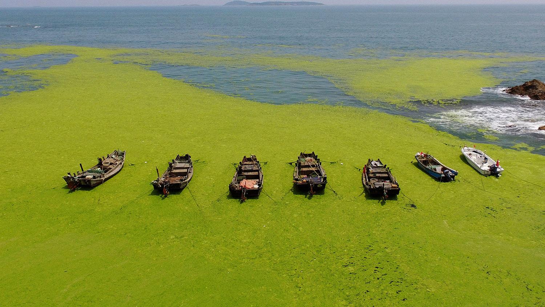 山东沿海不只有海星大爆发,海藻、水母成灾也是头痛问题(法新社)