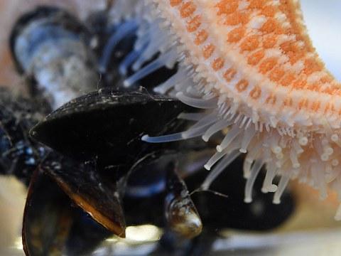 中国沿近海频频发生海星大爆发,海底蝗灾苦了贝类养殖户,同时也拉响生态警报。