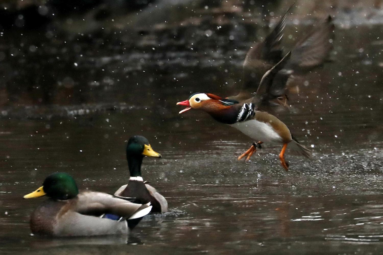 绿头鸭的洗白盗猎问题严重,野外族群命运乖舛。(路透社)