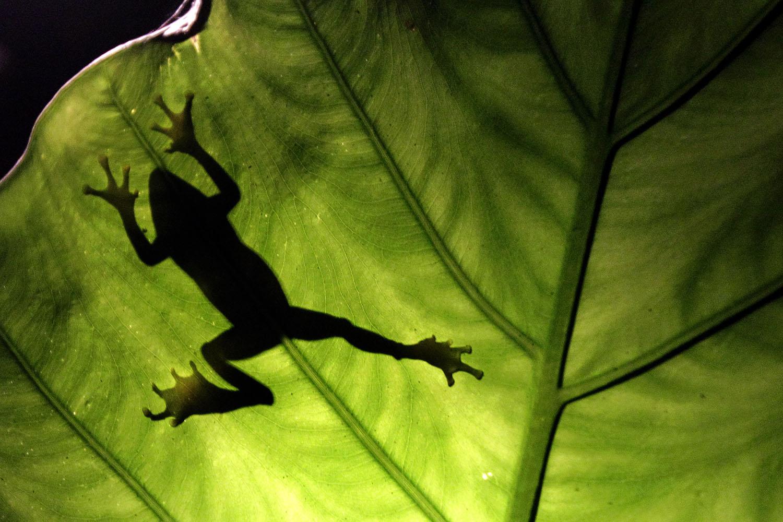 """蛙类""""从陆生变水生"""",打开人工养殖和食用的大门。(路透社)"""