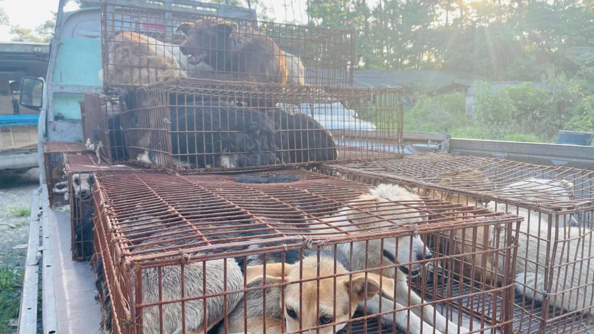 这些狗被塞在铁笼里动弹不得,长途跋涉来到玉林,大多伤痕累累。(国际人道协会提供)