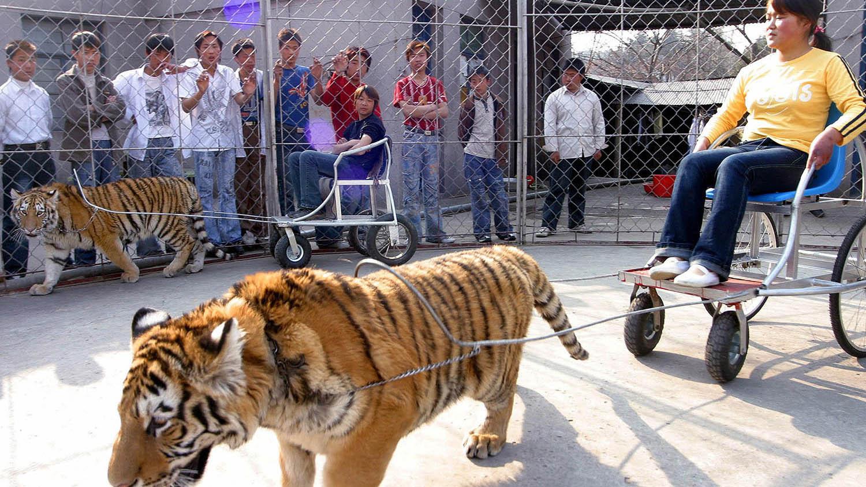 中国的圈养老虎数量远高于野外族群,老虎拉车载客,保育旗帜形同幌子。(路透社)