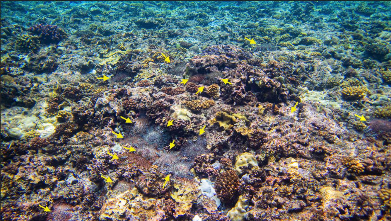 棘冠海星入侵太平岛海域,密集处可见20只同框(黄色箭头所指)。(郑明修提供)