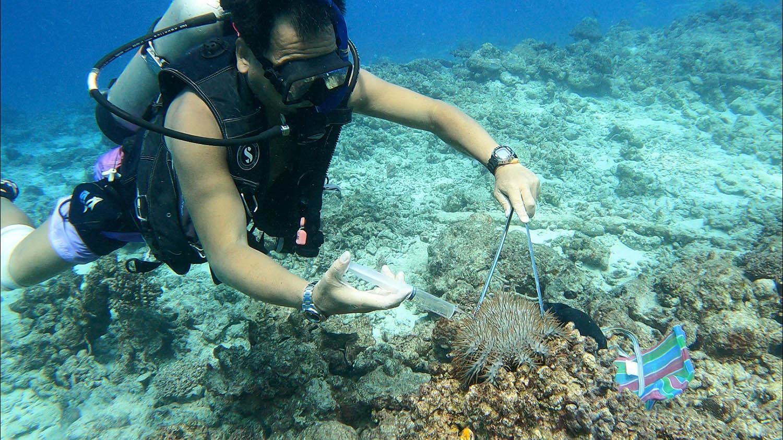 棘冠海星横扫太平岛珊瑚礁,工作人员以醋酸注射海星,试图降低危害。(郑明修提供)