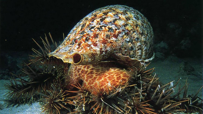 大法螺是棘冠海星的天敌,却面临过度捕捞命运。(郑明修提供)