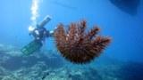"""棘冠海星被封爲""""珊瑚殺手"""",南海局部海域出現大爆發,珊瑚礁難逃劫難。"""