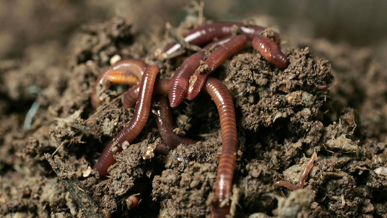 """蚯蚓被称为""""土壤的生态工程师"""",塑料会影响蚯蚓的活性与大小。(路透社)"""