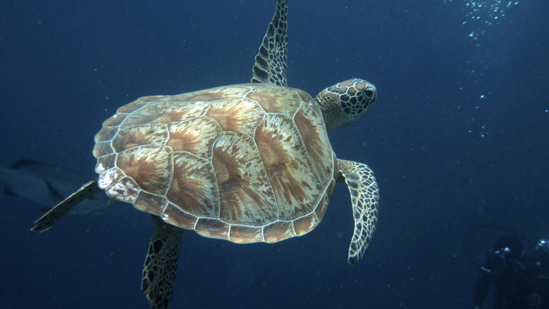 当珊瑚礁被摧毁、岛礁水泥化,海龟被迫踏上逃亡之旅。(路透社)