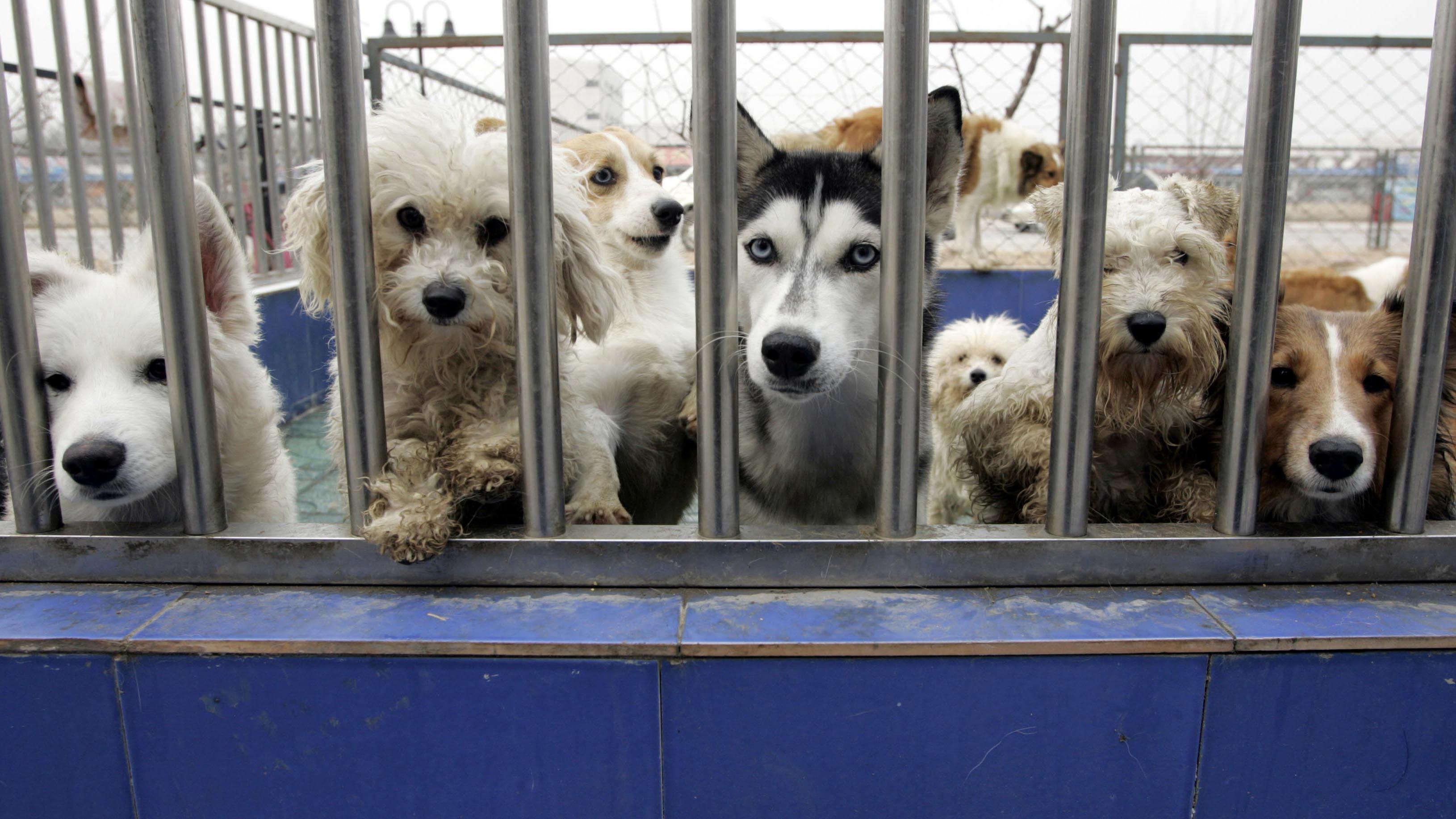 中国宠物繁殖行业的监管漏洞百出,动物福利未受重视。(路透社)