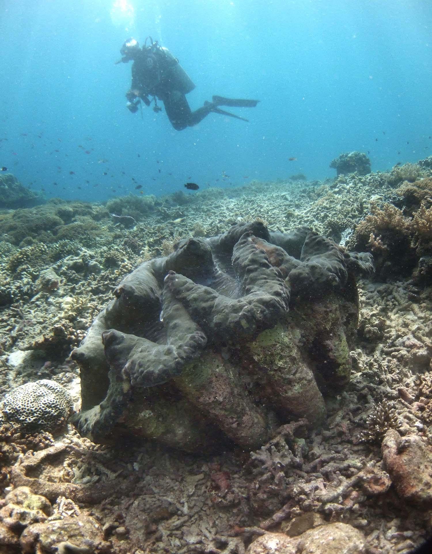 砗磲贝体型巨硕,是海洋生态的指标物种。(路透社)