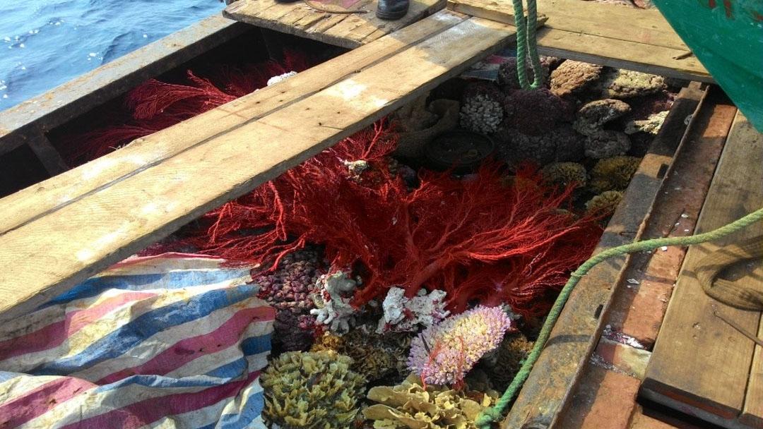 台湾海巡署在东沙岛查缉非法渔业,抓到中国渔船盗猎珊瑚。(台湾海巡署提供)