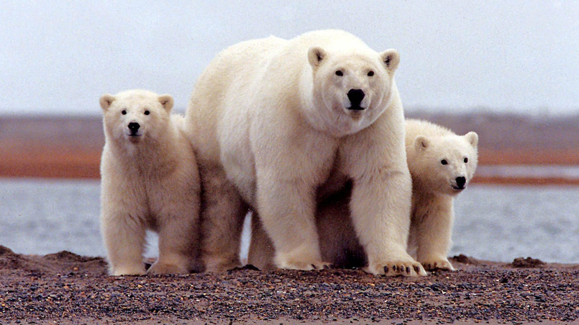 北冰洋的海冰加速消融,北极熊面临生存威胁。(路透社)