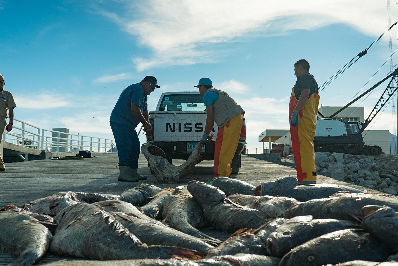 加湾石首鱼被大量猎捕,生态浩劫迫在眉睫。(法新社)