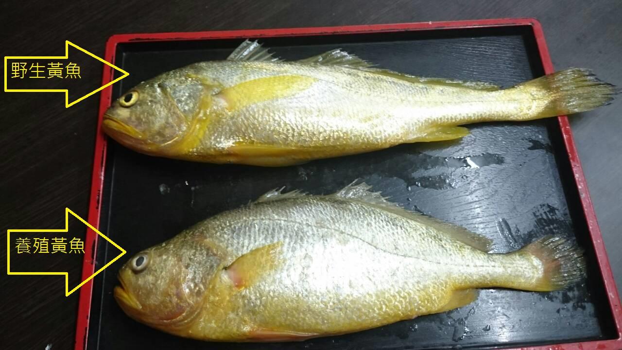 野生和养殖大黄鱼的体型不同,不过当养殖户使手段,消费者也不易辨别。(徐承堉提供)