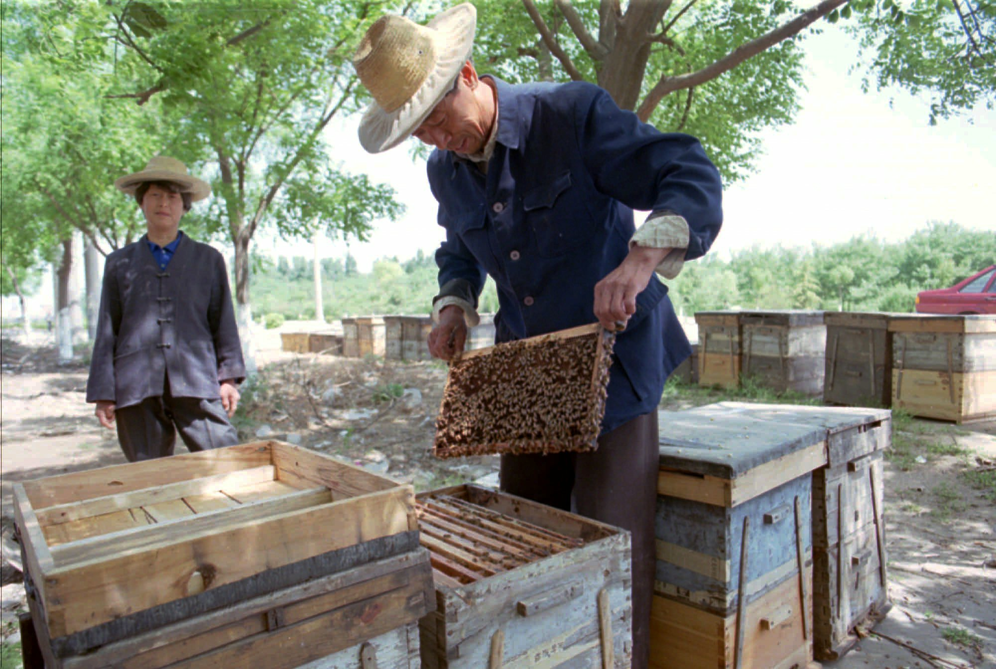 农药威胁中国养蜂业,不少地区蜜蜂大量死亡。(美联社)