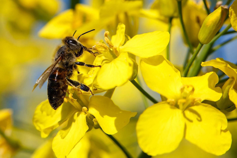瑞士学者抽检全球蜂蜜,75%蜂蜜样本验出杀虫剂。(美联社)