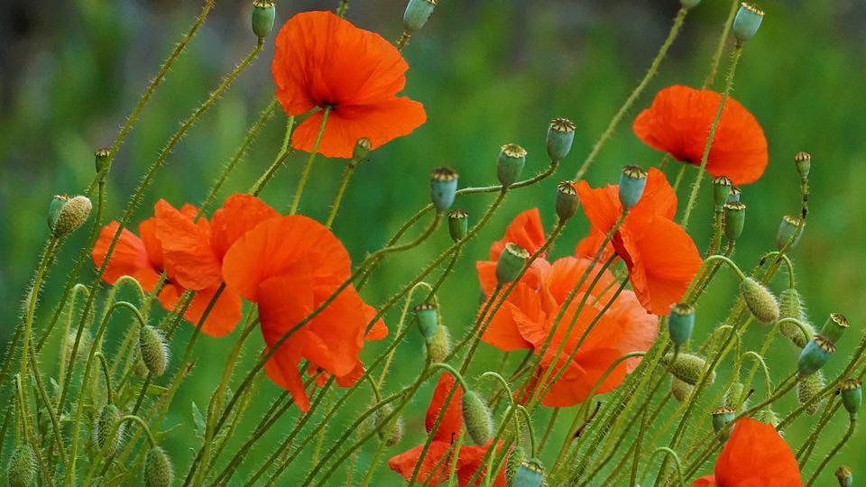 罂粟花。(Public Domain)