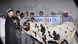 Ömer Uyghur wexpide qurbanliq qilin'ghan mallarning biri. 2011-Yili 6-noyabir, pakistan.