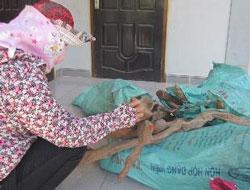 Gốc, rễ cây gỗ huê được thu gom tại xã Sơn Trạch (Bố Trạch). Photo courtesy of Báo Nông Nghiệp Việt Nam.