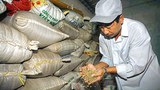 Một chủ trại cà phê ở Long Khánh đang kiểm tra lại loai cà phê Robusta đã được sấy khô và đóng bao.